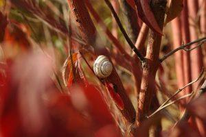 evertebrater - en snigel på en buske